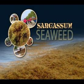 Embedded thumbnail for GIS Report - Sargassum Seaweed